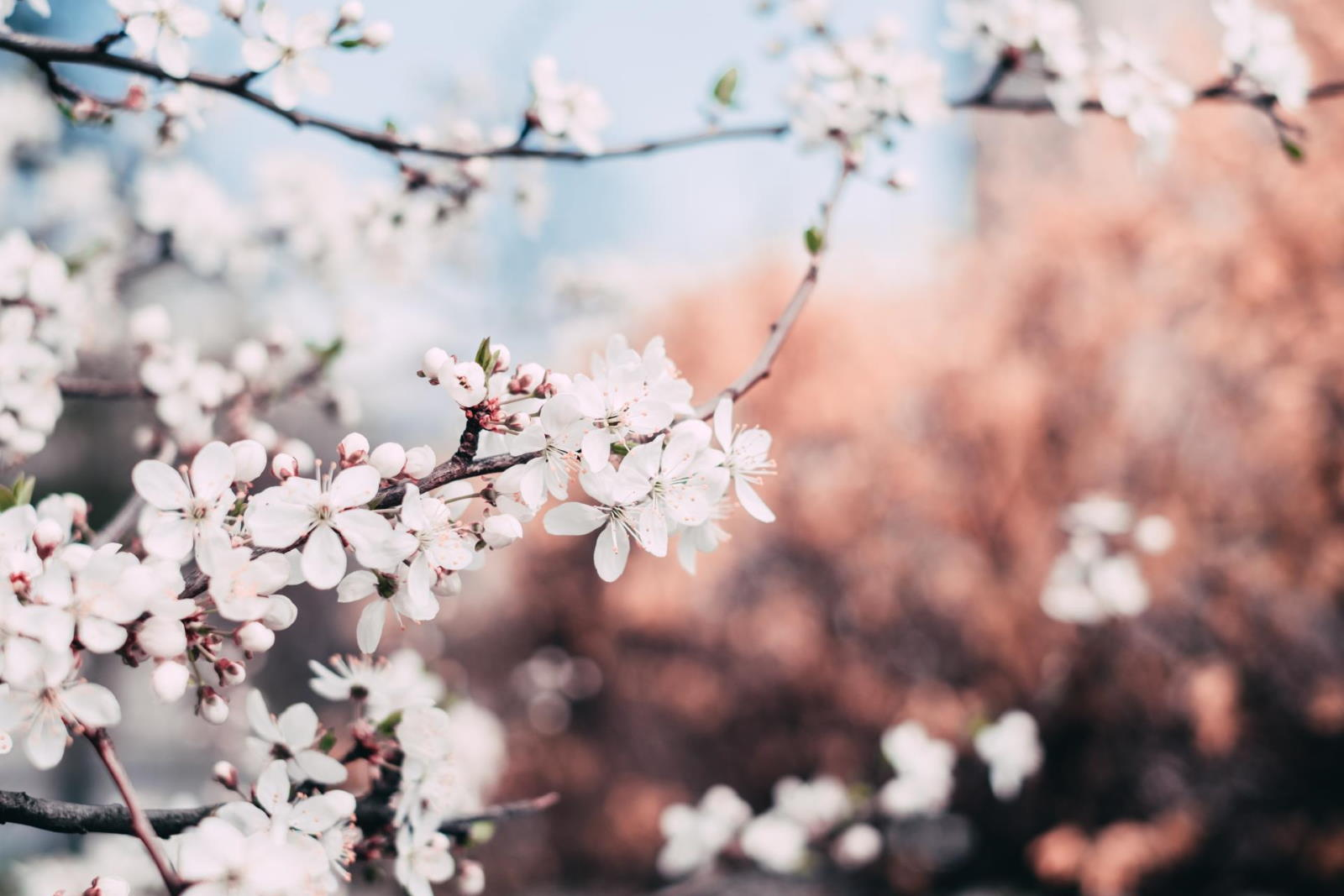 Blossoming tree branches